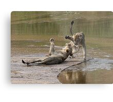 Young Lions Playing In Water Metal Print