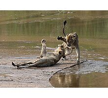 Young Lions Playing In Water Photographic Print