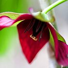 Deep Red Trillium by T.J. Martin
