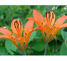 Wood Lilies - Wildflowers of Alberta Photographic Print