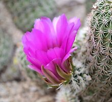 Magenta Cactus Bloom by Kathleen Brant