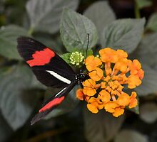 Butterfly with Red Banded Wings by Kathleen Brant