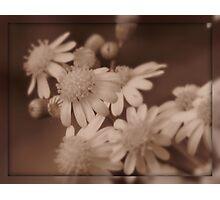 a sepia spring Photographic Print