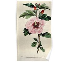The Botanical magazine, or, Flower garden displayed by William Curtis V3 V4 1790 1791 0023 Hibiscus Syriacus, Syrian Hibiscus, Althae Frutex Poster