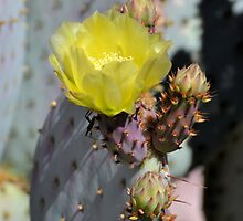 Yellow Prickly Pear Bloom by Kathleen Brant
