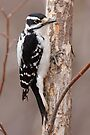 Downey Woodpecker (female) by Todd Weeks