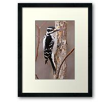 Downey Woodpecker (female) Framed Print