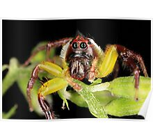 Green Jumping Spider - Male Poster
