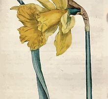The Botanical magazine, or, Flower garden displayed by William Curtis V1 V2 1787 1789 0114 Narcissus Major, Great Daffodil by wetdryvac