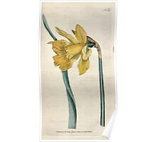 The Botanical magazine, or, Flower garden displayed by William Curtis V1 V2 1787 1789 0114 Narcissus Major, Great Daffodil Poster