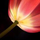 Tulip by Rachael Talibart