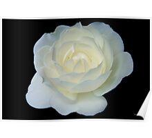 Moonlit White Rose Poster
