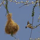 Black-capped Social-Weaver by David Clarke