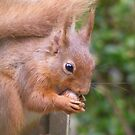 Red Squirrel by monkeyferret