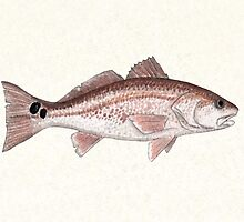 Redfish Watercolor  by Amber Marine