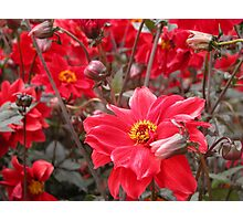 Sea of red flowers Photographic Print