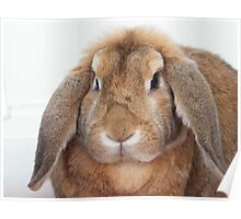 Fluffy Bunny........ 'Mr Rochester' Poster