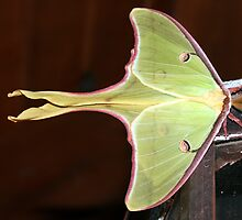 Luna Moth by Julie's Camera Creations <><