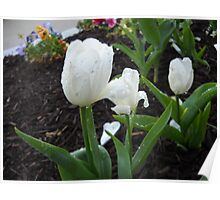 White Tulips And Rain Drops Poster