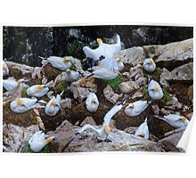 A day in the life ... of a gannet colony, Saltee Island, County Wexford coast, Ireland Poster