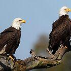 A Bald Eagle Couple! by jozi1