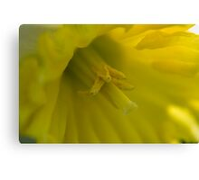 Soft Yellow Daffodil Canvas Print