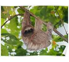 Brown throated sloth in the jungle Poster