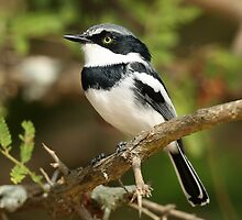 Male Chispot Batis by jozi1