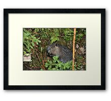 Canadian Beaver kit Framed Print