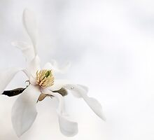 White magnolia flower by LGodbey