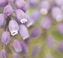 Grape hyacinths by LGodbey