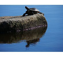 Snapping turtle resting on a rock... Photographic Print