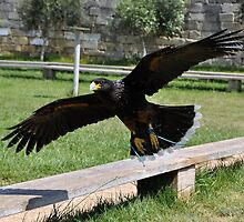 Caracara in Flight by Snogable