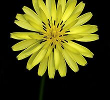 Yellow Flower by PaulWilkinson