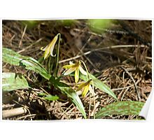 Trout Lily Poster