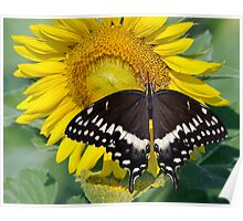 Butterfly and sunflower Poster