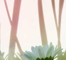 Lawn Daisy by OldaSimek