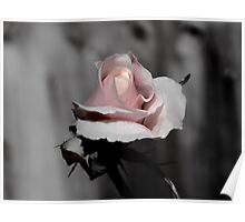 Blossoming Rose Poster