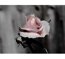 Blossoming Rose Photographic Print