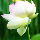 Lotus Flower - Big Bone Lick Gardens, Kentucky by Jeanne Sheridan