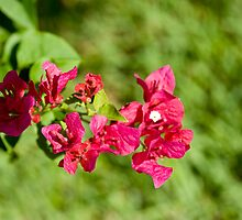 Mom's red flowers in green background by Deweyreg