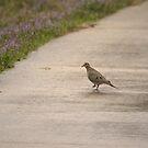 Dove Walking by John  Sperry