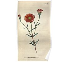The Botanical magazine, or, Flower garden displayed by William Curtis V1 V2 1787 1789 0130 Mesembryanthemum Bicolorum, Two Colored Fig Marigold Poster