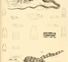 The Reptiles of British India by Albert C L G Gunther 1864 0521 Snakes by wetdryvac