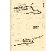 The Reptiles of British India by Albert C L G Gunther 1864 0521 Snakes Photographic Print