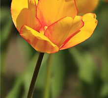 Gold and Red Tulip by Yannik Hay