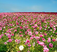 The flower fields in brilliant color by Gary Lange