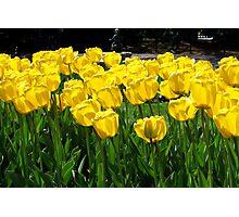 Tulips! Photographic Print
