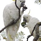 Sulfur-crested cockatoos - Snack time by Dan & Emma Monceaux