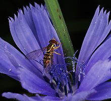 Chicory Chow Down by John Griggs